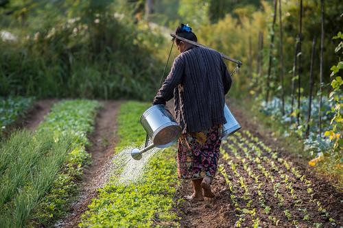 寮國的農夫,正在灌溉有機蔬菜。(來源:亞洲開發銀行 Asian Development Bank)