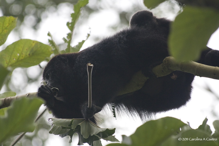 howler monkey mom and baby feeding