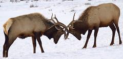 herd(0.0), bison(0.0), animal(1.0), deer(1.0), snow(1.0), fauna(1.0), elk(1.0), wildlife(1.0), reindeer(1.0),