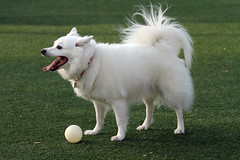 dog breed, animal, german spitz klein, dog, japanese spitz, pet, volpino italiano, german spitz, german spitz mittel, carnivoran, american eskimo dog, samoyed,