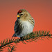 Common Redpoll by Doug Lloyd