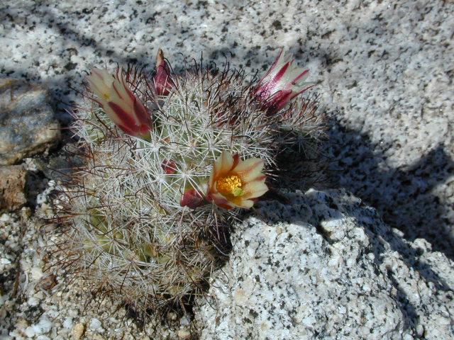 Baby Barrel Cactus   Flickr - Photo Sharing! Baby Barrel Cactus