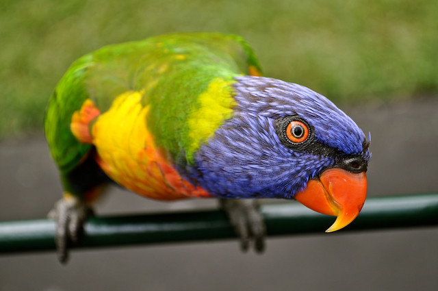 Rainbow Lorikeet [Explore]