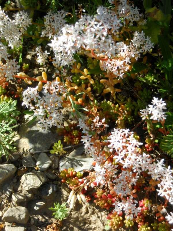 Sedum dasyphyllum v 1