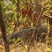 Leopard (Tony Yeomas)