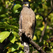 Crested Serpent Eagle (Thomas Mills)