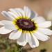 Glebionis carinatum (Toby Albrehart)