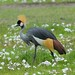 Crowned Cranes (David Mercer)