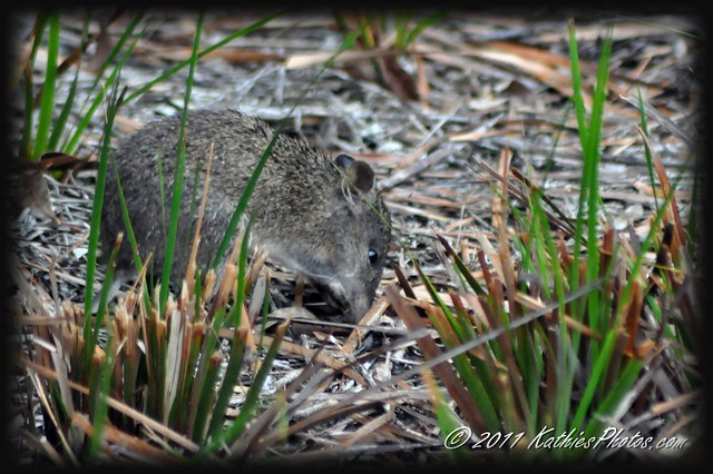 Bandicoot at Cranbourne Botanical Gardens