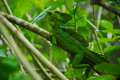 green lizard(0.0), insect(0.0), african chameleon(0.0), lacerta(0.0), lacertidae(0.0), dactyloidae(0.0), iguana(0.0), animal(1.0), branch(1.0), reptile(1.0), lizard(1.0), macro photography(1.0), green(1.0), fauna(1.0), jungle(1.0), scaled reptile(1.0), chameleon(1.0), wildlife(1.0),
