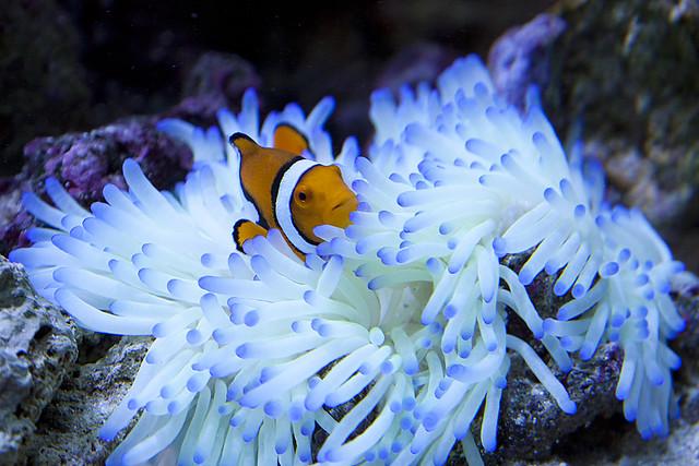Ocellaris clownfish anemone - photo#4