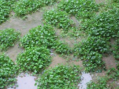leaf, plant, herb, green, produce, groundcover,