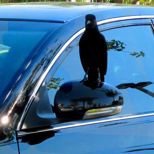 urban black bird flickr perch crow 50200mm blackbird carwindow ilobsterit