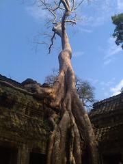 tree, adansonia,