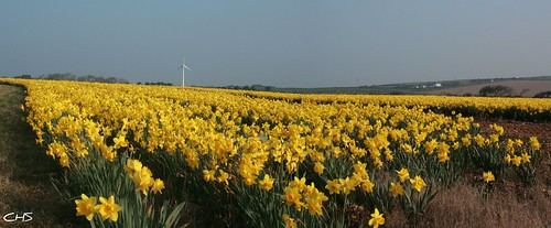 Daffodil field near Chiverton Cross, Cornwall (panorama version) by Stocker Images