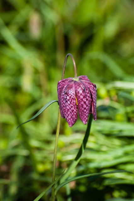 Snake's head fritillary flower