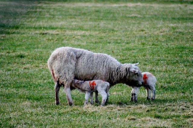 Lambs, Speyside