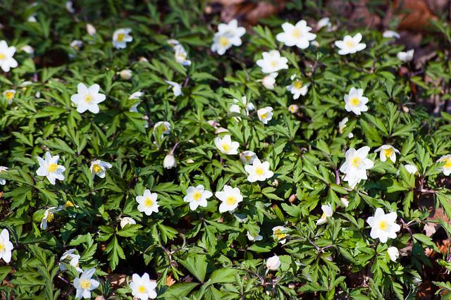 Wood anemones flowering