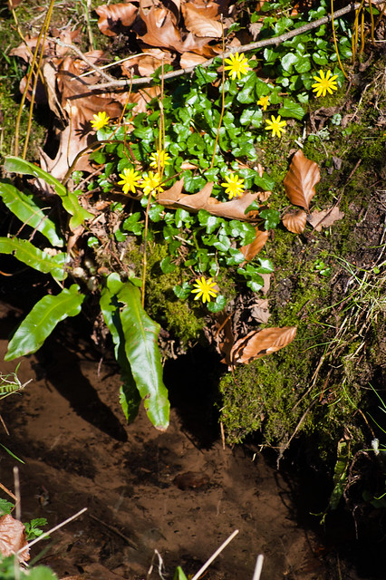 Celandines and a fern