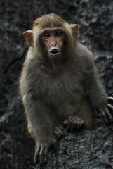 baboon(0.0), japanese macaque(0.0), animal(1.0), monkey(1.0), mammal(1.0), fauna(1.0), old world monkey(1.0), new world monkey(1.0), macaque(1.0), wildlife(1.0),