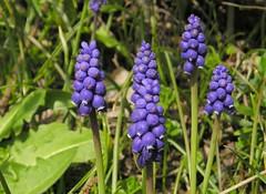 Kleine Traubenhyazinthe (Muscari botryoides)