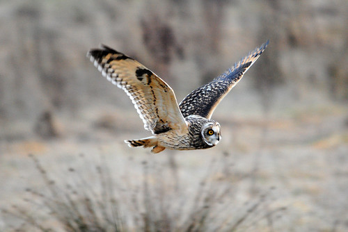 Short-eared owl [Explored #1]