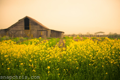 Old Barn in a field of mustard