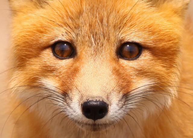 Red Fox...#55 close-up...   Flickr - Photo Sharing!