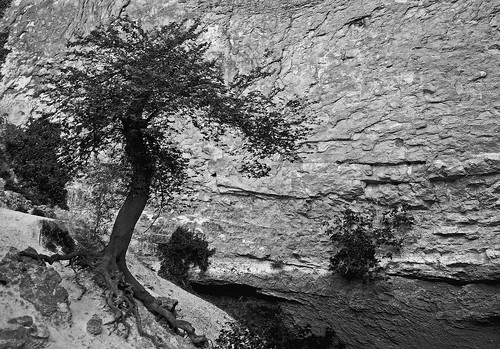 The old Tree at the Cliffs