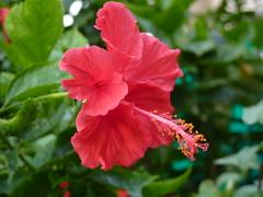 annual plant(1.0), shrub(1.0), flower(1.0), plant(1.0), flora(1.0), chinese hibiscus(1.0), petal(1.0),