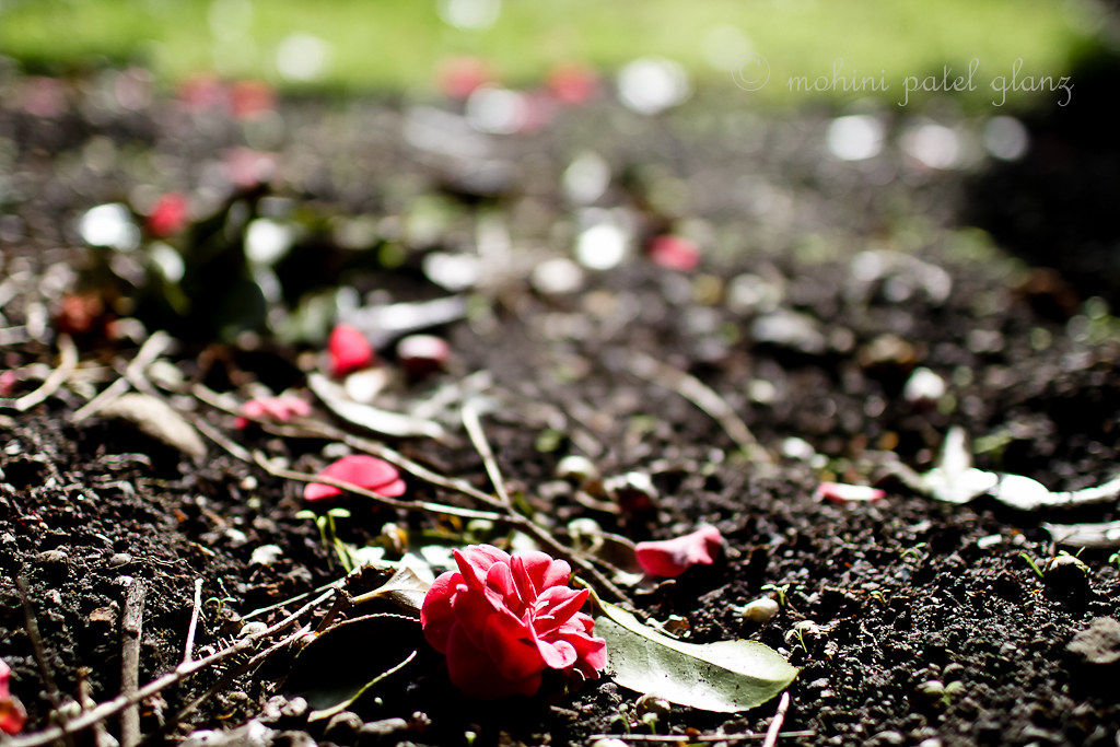 backyard camellia - 7