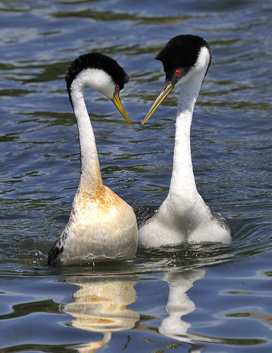 Western Grebes Courting.  Photo © Leslie Scopes Anderson.