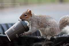 Coffee addicted squirrel