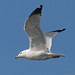 Ring-Billed Gull in Flight III