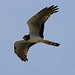 Long-winged Harrier (Peter Dunn)