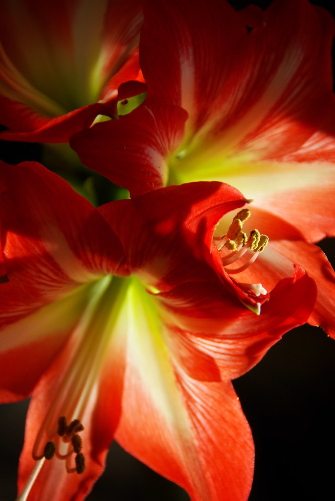 Full House Amaryllis
