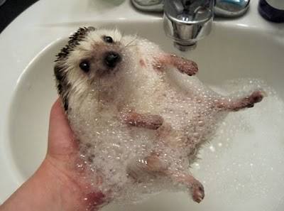 hedgehog-bath