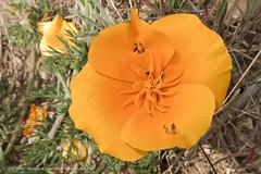 eschscholzia californica, flower, yellow, plant, macro photography, wildflower, flora, petal,