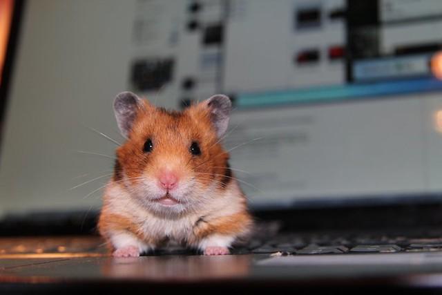 hamster,