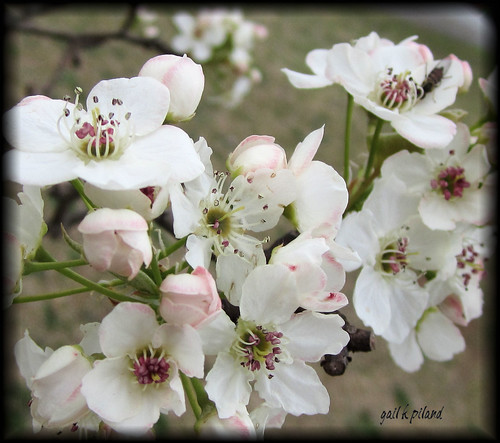 Pale pear blossoms