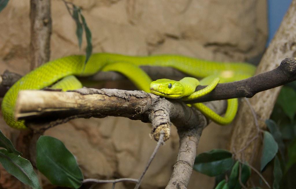 yellow mamba snake - photo #7