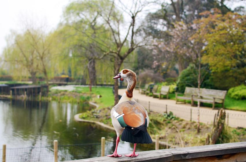 excellent duck