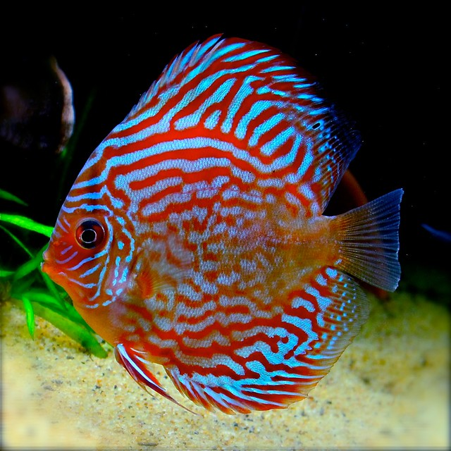 Red Turquoise Discus Flickr - Photo Sharing!
