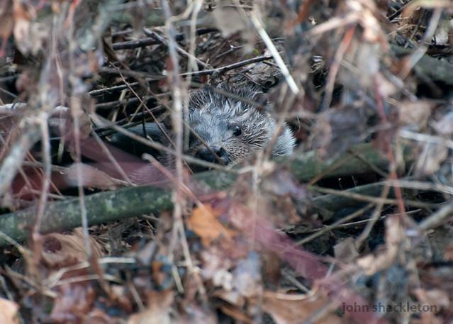 Nutria / Otter (lutra lutra)