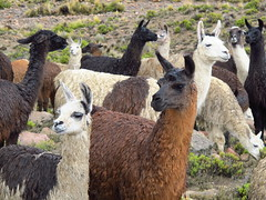 alpaca(0.0), animal(1.0), mammal(1.0), llama(1.0), fauna(1.0), vicuã±a(1.0), guanaco(1.0),