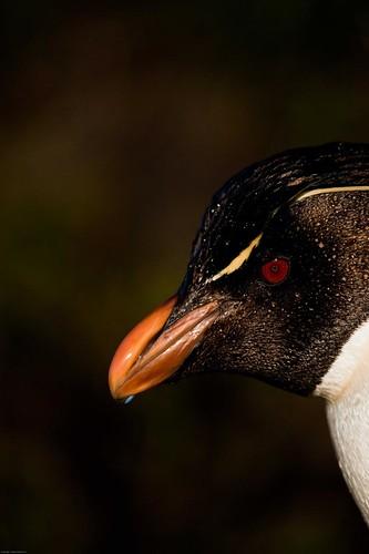 Rockhopper penguin by Derek Pettersson