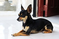 praå¾skã½ krysaå™ã­k(0.0), german pinscher(0.0), dog breed(1.0), animal(1.0), dog(1.0), manchester terrier(1.0), pet(1.0), lancashire heeler(1.0), russkiy toy(1.0), vulnerable native breeds(1.0), miniature pinscher(1.0), toy manchester terrier(1.0), toy fox terrier(1.0), english toy terrier(1.0), carnivoran(1.0), terrier(1.0),