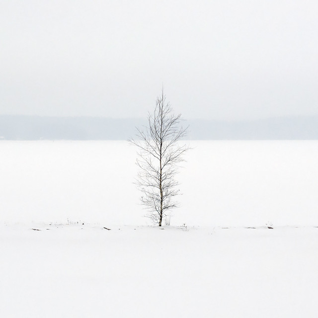 One birch tree