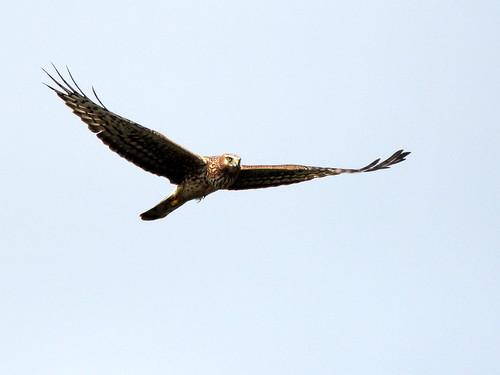 Northern Harrier 20110220