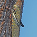 Tropidacris - Photo (c) Jerry Oldenettel, some rights reserved (CC BY-NC-SA)